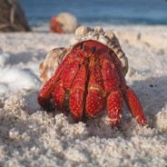 strawberry crab